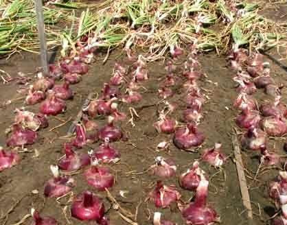 Ялтинська цибуля - посадка і вирощування.