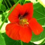 Як виростити настурцію з насіння?