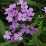 Квіти гесперісу - опис, вирощування і розмноження