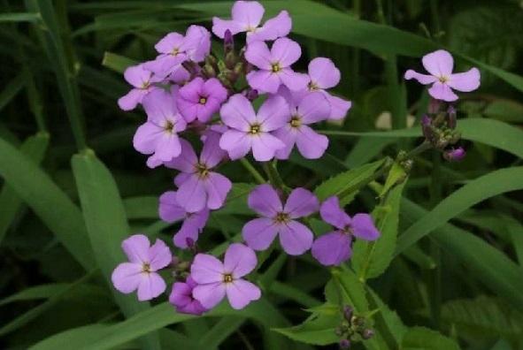 Фото і опис квітів гесперісу