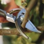 Догляд за виноградом влітку, обрізання лози.