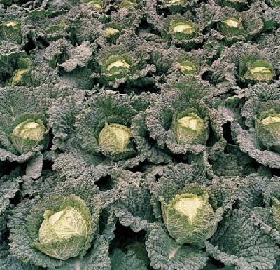 Як потрібно вирощувати савойську капусту?