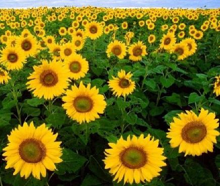 Вирощування соняшнику відповіжно до технології