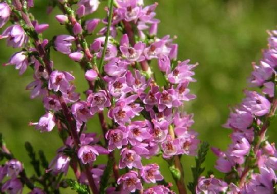 Розмножуємо, доглядаємо і садимо квіти вересу