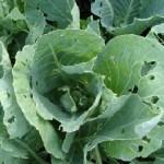 Правила боротьби з капустяними шкідниками