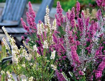 Квіти вересу - посадка, догляд і розмноження.