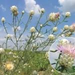 Волошка білоперлинна - рідкісна квітка