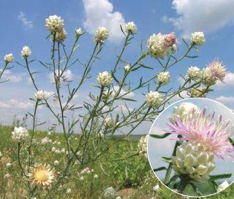 Волошка білоперлинна - рідкісна квітка.