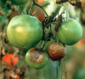 Фітофтора пошкодила помідори, боротьба.
