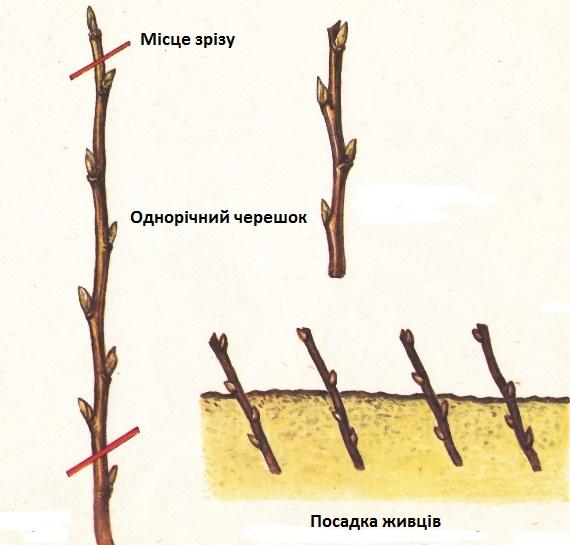 Як розмножують чорну смородину живцями?