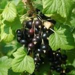 Смородина чорна - висадка, догляд і розмноження живцями або купленими саджанцями