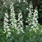 Ясенець білий з квітами багатими на ефірні масла