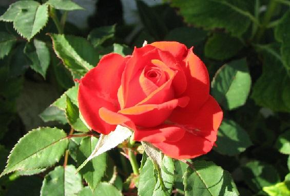 Правильне пересаджування троянд.