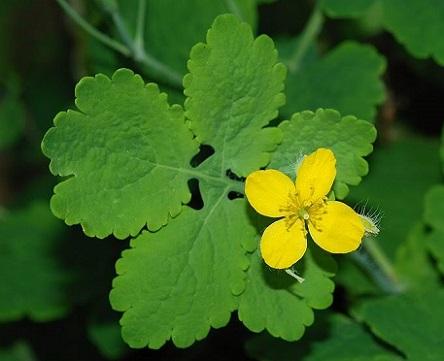 Лікувальні властивості рослини чистотілу