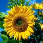 Соняшникові шкідники й хвороби такі, як лучний метелик, соняшникова вогнівка, бавовняна совка, фомопсис, борошниста роса, біла або сіра гниль
