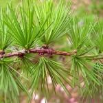 Модрина європейська - дерево