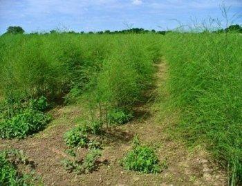 Спаржа - вирощування у відкритому грунті