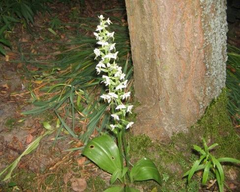 Любка дволиста - фото показує нам зростанні квітки у дикому вигляді (лісі).