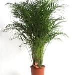 Хрізалідокарпус - пальма, умови і проблеми при вирощуванні