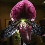 Фото чорної орхідеї