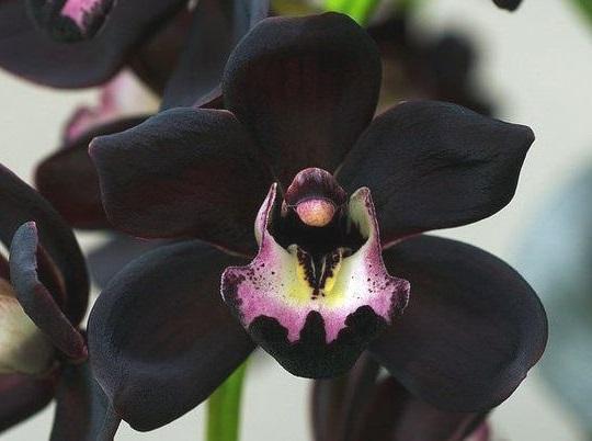 Чорні орхідеї - фото, вирощування, догляд, пересадка.