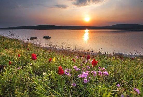 Фото тюльпану Шренка в природі
