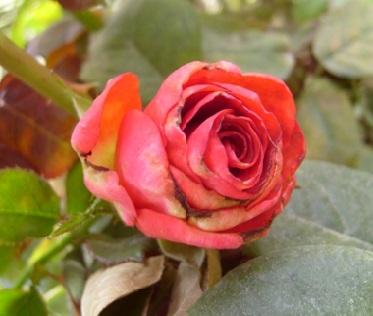 Хвороби троянд — боротьба і профілактика