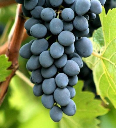 Виноград Молдова - опис і фото сорту