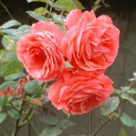 Шкідники троянд - заходи боротьби та профілактика