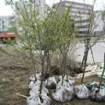 Як зберегти не висадженні саджанці восени до наступного року?
