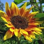 Декоративний соняшник - сорти, догляд, розмноження.