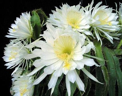 Селеніцереус - догляд за кактусом.
