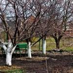 Підготовка яблунь та інших фруктових дерев до зими та лютих морозів.