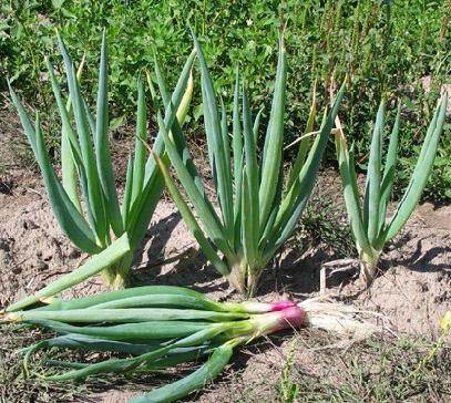 Вирощування озимої цибулі.
