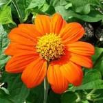 Квітка тітонія - опис та фото.