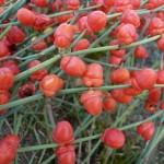 Ефедра - види та фото, вирощування і догляд