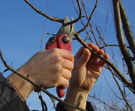 Обрізка молодих фруктових дерев - правила та інструкція.