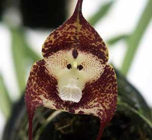 Орхідея Дракула, догляд, фото.