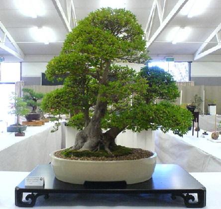 Бонсай — це дерева або рослини в мініатюрі