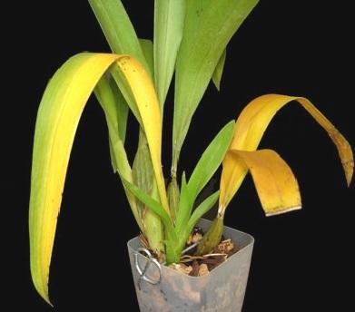 Чому в орхідеї жовтіє листя і гниє коріння?
