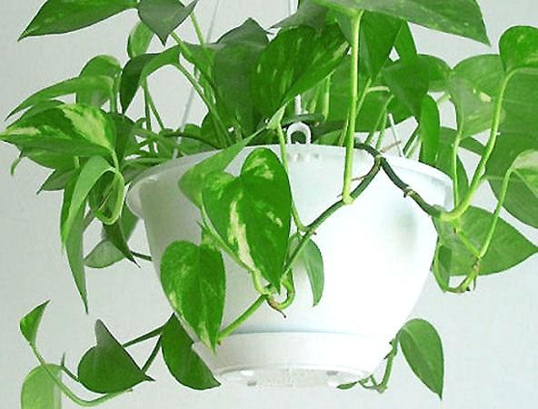 Примхи кімнатних в'юнких рослин.