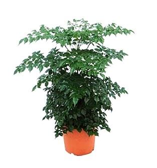 Радермахера — догляд і проблеми при вирощуванні.