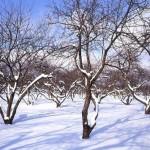Догляд за садом взимку - обрізка дерев та кущів