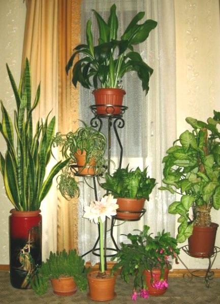 Які рослини не варто вирощувати вдома?