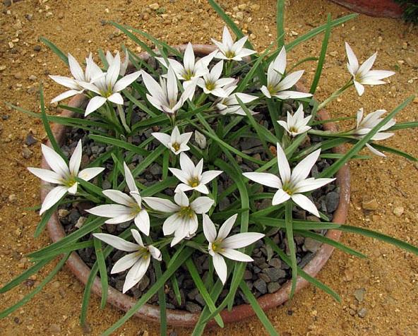 Іфейон - домашнє вирощування, догляд в кімнатних умовах та фото.