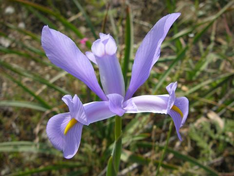 Ксіфіуми - багаторічні цибулинні квіти, фото.