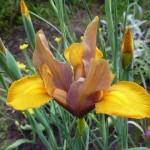 Ксіфіуми - багаторічні цибулинні квіти, вирощування яких відбувається вегетативно