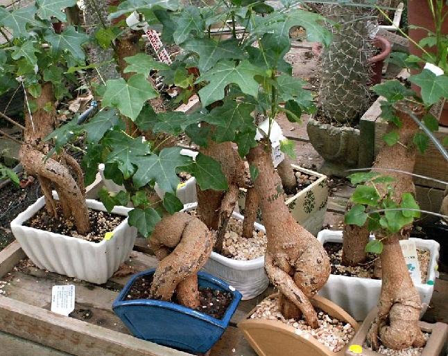 Брахіхітон - карликові види, фото
