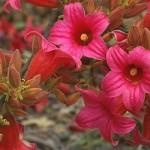 Брахіхітон - цвітііня на фото.