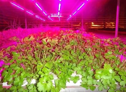 Світлодіодні світильники для теплиць і кімнатних рослин